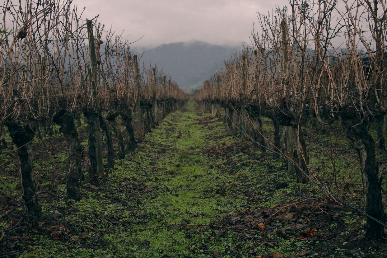 a row of dead trees in Colcahgua Vineyard in the evening