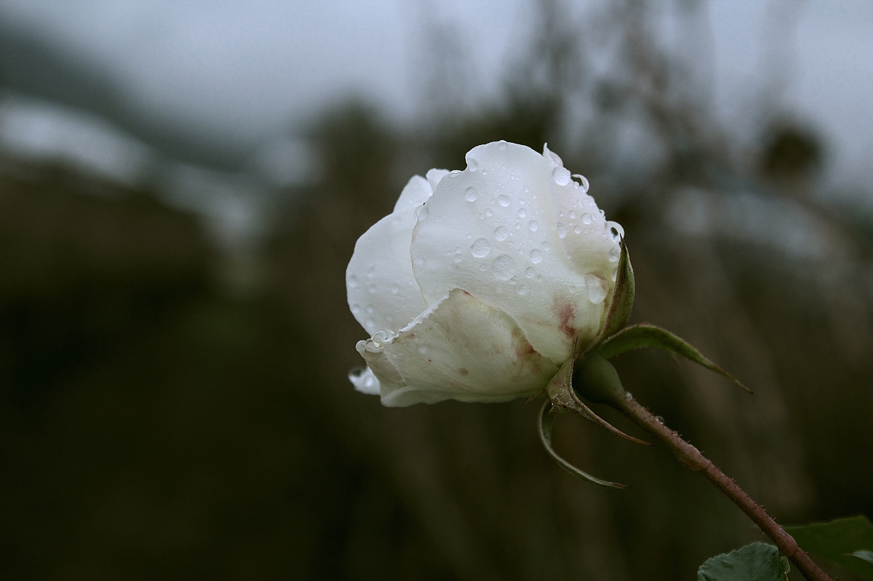 white rose with dew drops in a vineyard