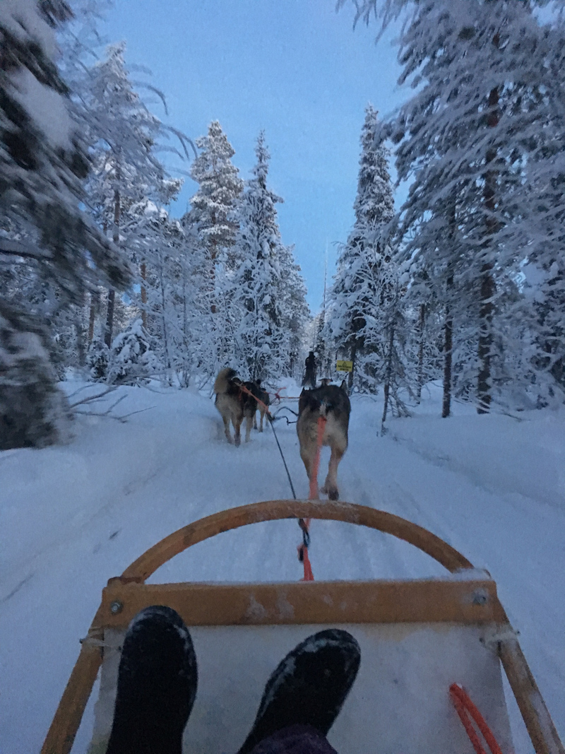 a view of the back of the dogs from sitting on the dogsled.